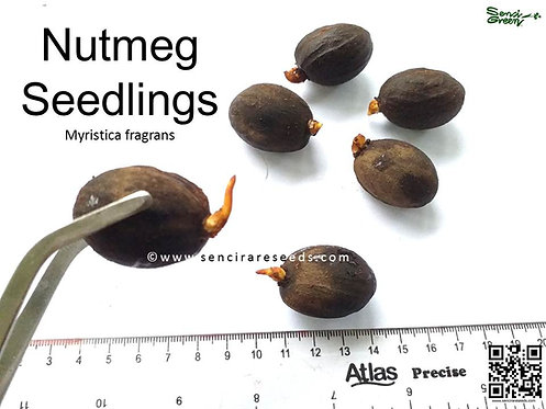 Nutmeg Seedlings (Myristica fragrans) www.sencirareseeds.com