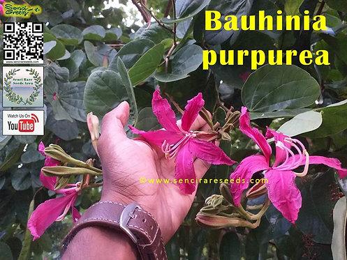 Bauhinia purpurea ~100% FRESH Seeds~ senci rare seeds area