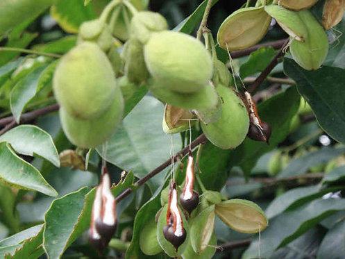 Agarwood 50 Seeds