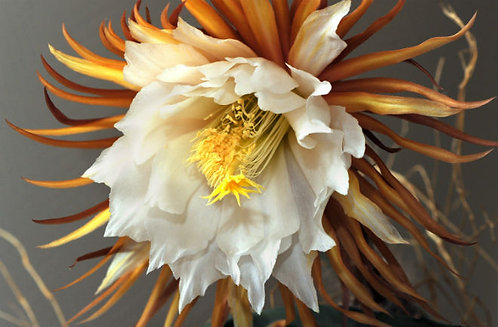 Epiphyllum oxypetalum variety (Golden color)