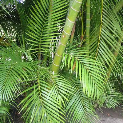 Dypsis madagascariensis (Mahajanga)