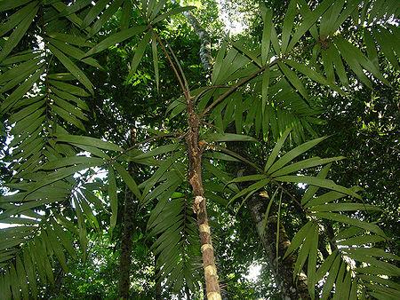 Bactris glandulosa var. baileyana