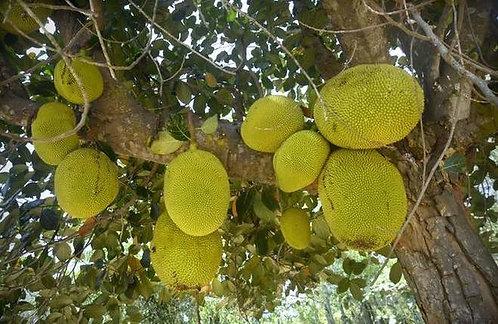 "Jackfruit Seedlings ""Artocarpus heterophyllus"""