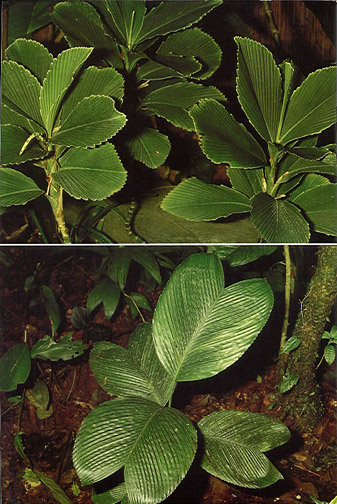 Chamaedorea amabilis