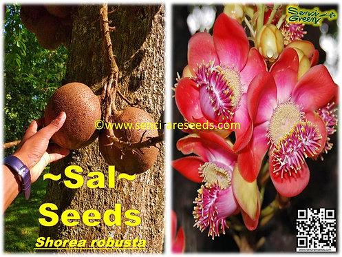 Shorea Robusta Flower seeds / flowering tree / Sal tree seeds