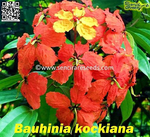 Bauhinia kockiana,leguminous inflamed perennial ~flora climber~ LIVE PLANT
