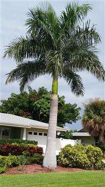 Puerto Rico royal palm seedlings ,Roystonea borinquena rare