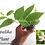 "Sepalika Plant (Nyctanthes arbor-tristis) 8""-10"" Inches Size"