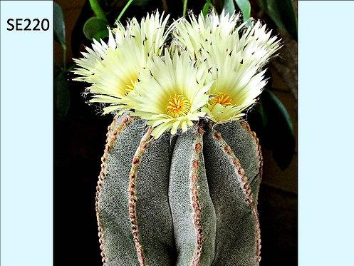 Cactus Plant  SE220