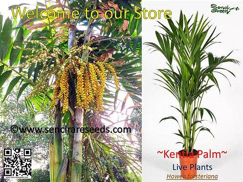 Kentia Palm, Howea forsteriana small live plants