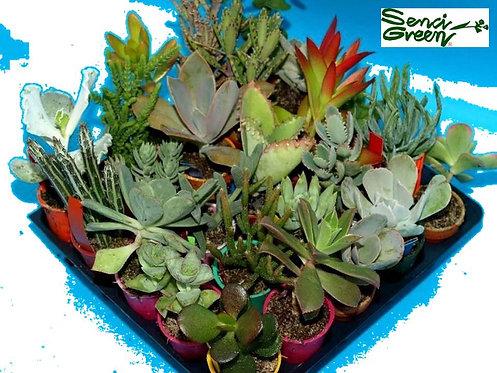 Set of 25 Cactus plants