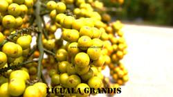 Licuala grandis seeds