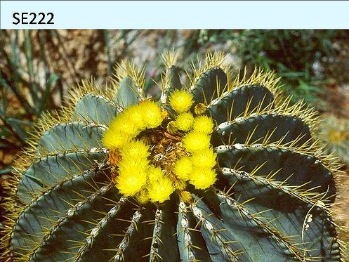 Cactus Plant  SE222