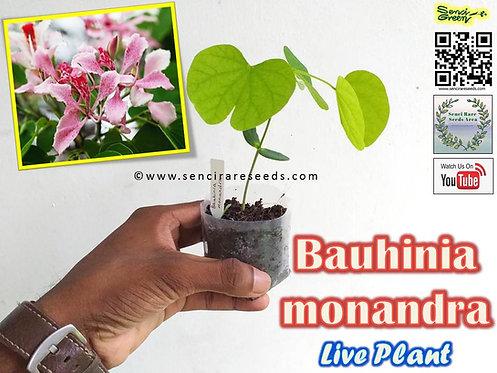 "Bauhinia monandra (8""- 12"" inches size) Live plant"