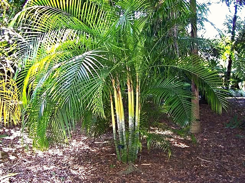 Dypsis baronii