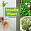 "Insulin Plant""Costus speciosus"" RARE Medicine Plant , senci rare seeds area"
