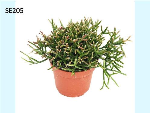 Cactus Plant  SE205