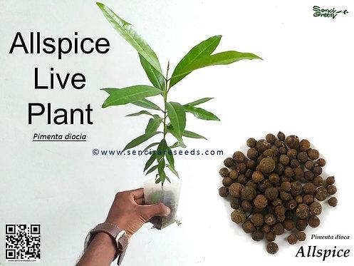 """Allspice Live Plant (8""""-12"""" Inches Size)"""