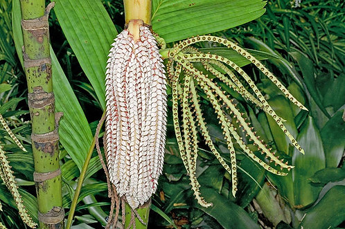 Ivory cane palm ,pinanga kuhlii, #Live plants