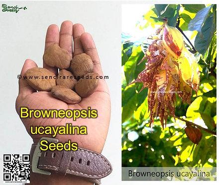 "Browneopsis uyacalina seeds ""very rare"" 04 seeds"