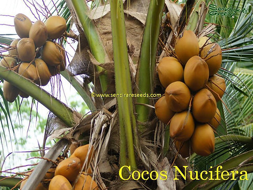 Brown Dwarf Cocos Nucifera