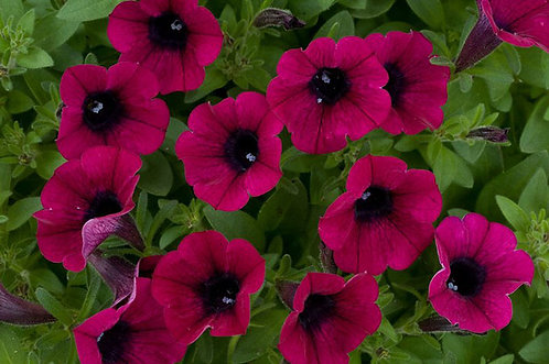 Petunia Dream 'Cranberry'