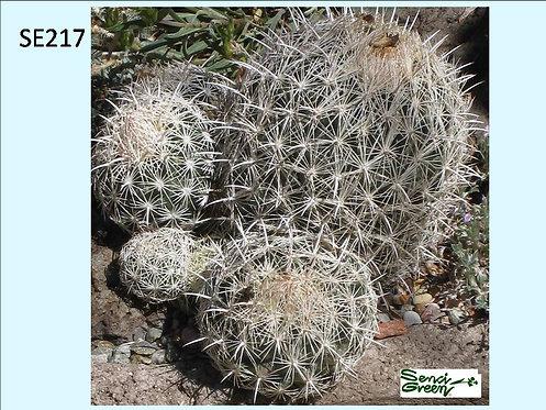 Cactus Plant  SE217