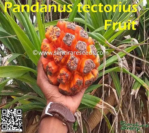 Hawaiian HALA Stilt Root Screw~ Pine Pandanus tectorius seeds
