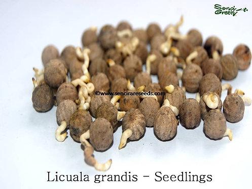 Fan Palm Seedlings (Licuala grandis) 50/100/500
