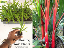 Red Sealing Wax Plant
