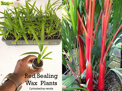 Red sealing wax palm plant (Cyrtostachys renda)