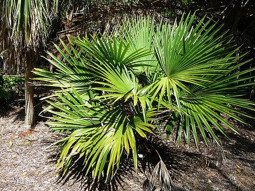 Chuniophoenix hainanensis