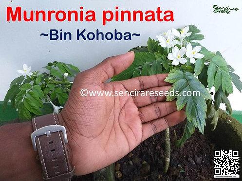 "Munronia pinnata ""Bin kohomba""  Live plant"
