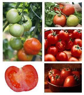 Tomato : Lycopersicon esculentum Mill. seeds