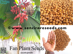 Licula Grandis Seeds