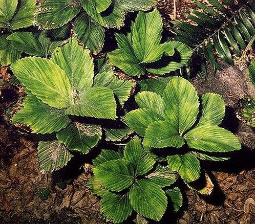Chamaedorea tuerckheimii (Veracruz)
