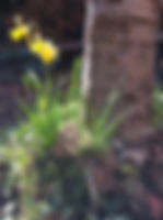 Daffodils_edited.jpg