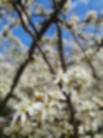 Blackthorn.jpg