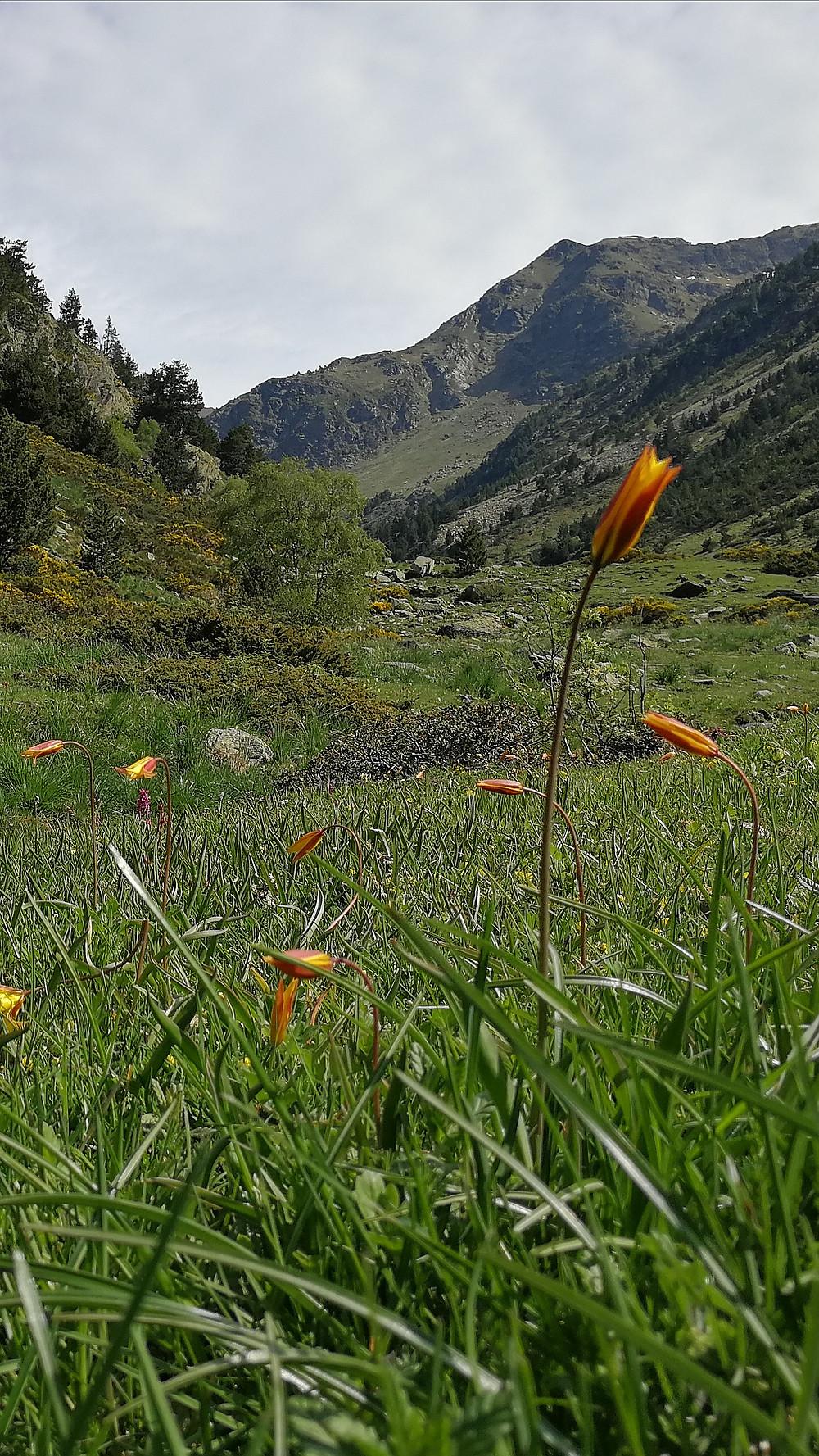 Preciosa flor del valle de Rialb en Andorra