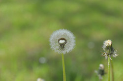 dandelion-1311663_1280