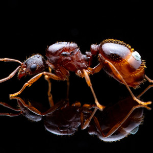 Aphaenogaster Rudis Queen