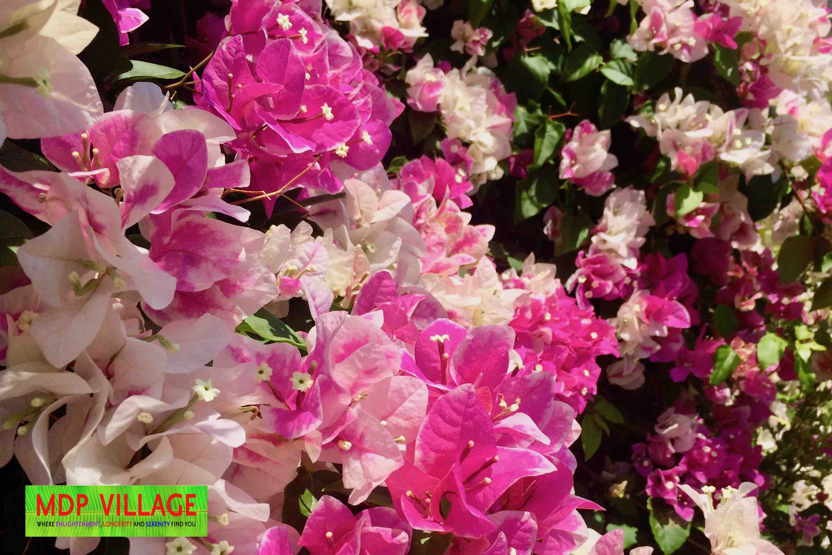 The natural beauty of Bougainvillea decorates the MDP Village