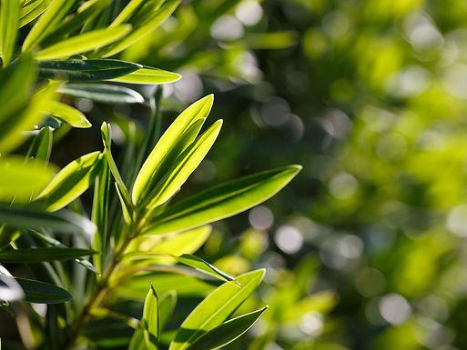 melaleuca-alternifolia.jpg