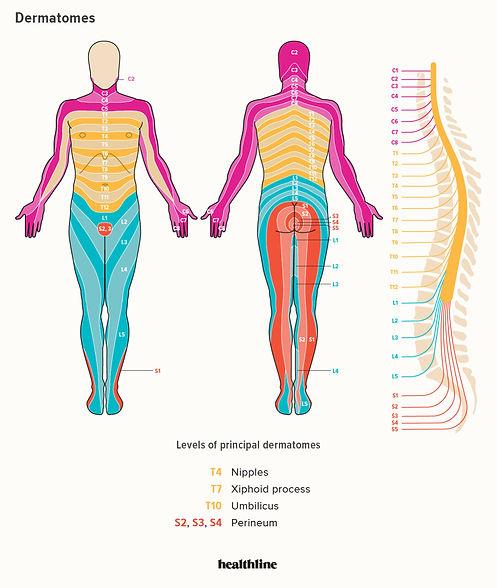 Dermatome Graph