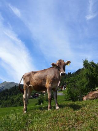 Kühe und Lamas ...
