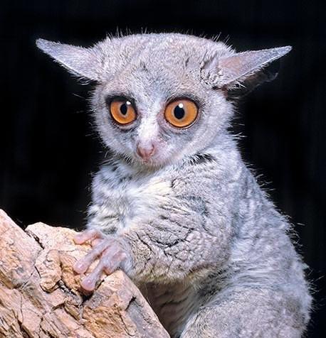 #28 - CURIOSITA'...BUSH BABY...gli occhi dolci della natura!
