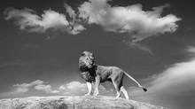 #51 - CURIOSITA'...Il Re Leone!