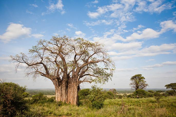 #27 - CURIOSITA'...BAOBAB...the tree of life!