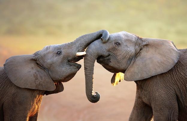 #14 - CURIOSITA'...THE ELEPHANT'S SOUND!
