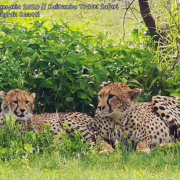 CHEETAHS UNDER THE RAIN